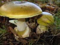 Бледная поганка — ядовитый гриб, описание, виды, симптомы отравления и интересные факты