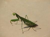Богомол — хищник и мастер маскировки. Описание, виды, интересные факты из жизни насекомого (фото + видео)
