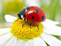 Божья коровка: основные виды, описание, среда обитания, жизненный цикл красочного насекомого