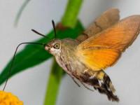 Бражник — гигант среди бабочек, описание, виды, ареал обитания, жизненный цикл (фото + видео)