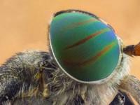 Слепень: описание, виды, ареал распространения, особенности питания самок и самцов, опасность для человека
