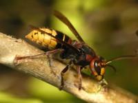 Шершень — самый крупный представитель ос: описание, виды, интересные факты из жизни насекомого