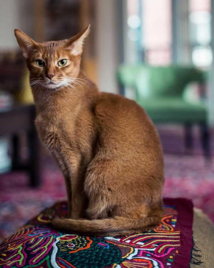настойчивость самодисциплина абиссинская кошка картинки представляет собой