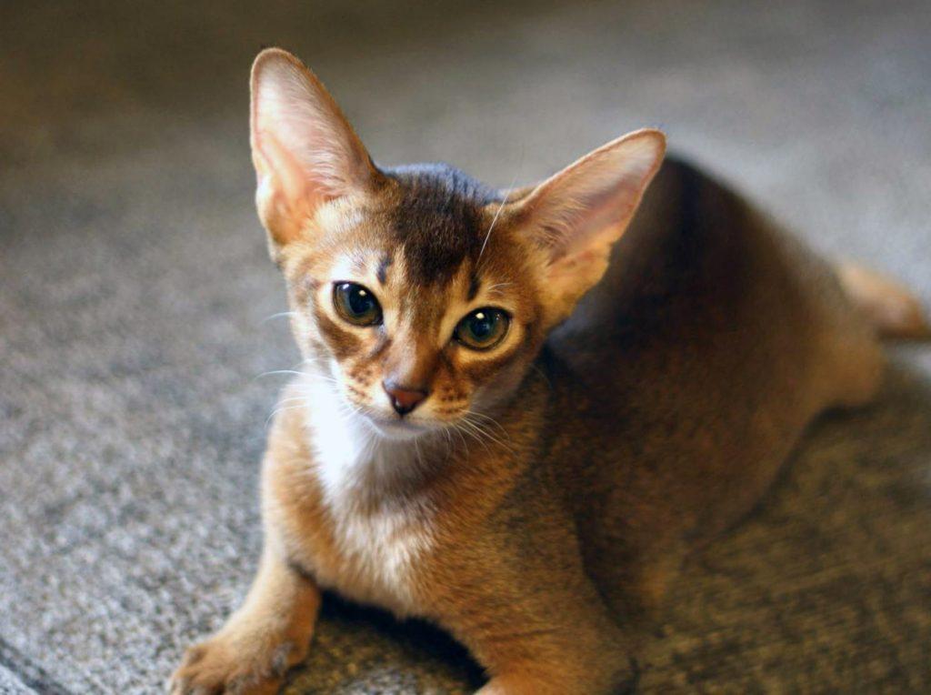 Картинки абиссинских котят