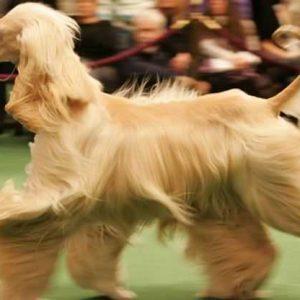 Афганская борзая: описание породы, характеристики, цена и 105 фото породистых собак