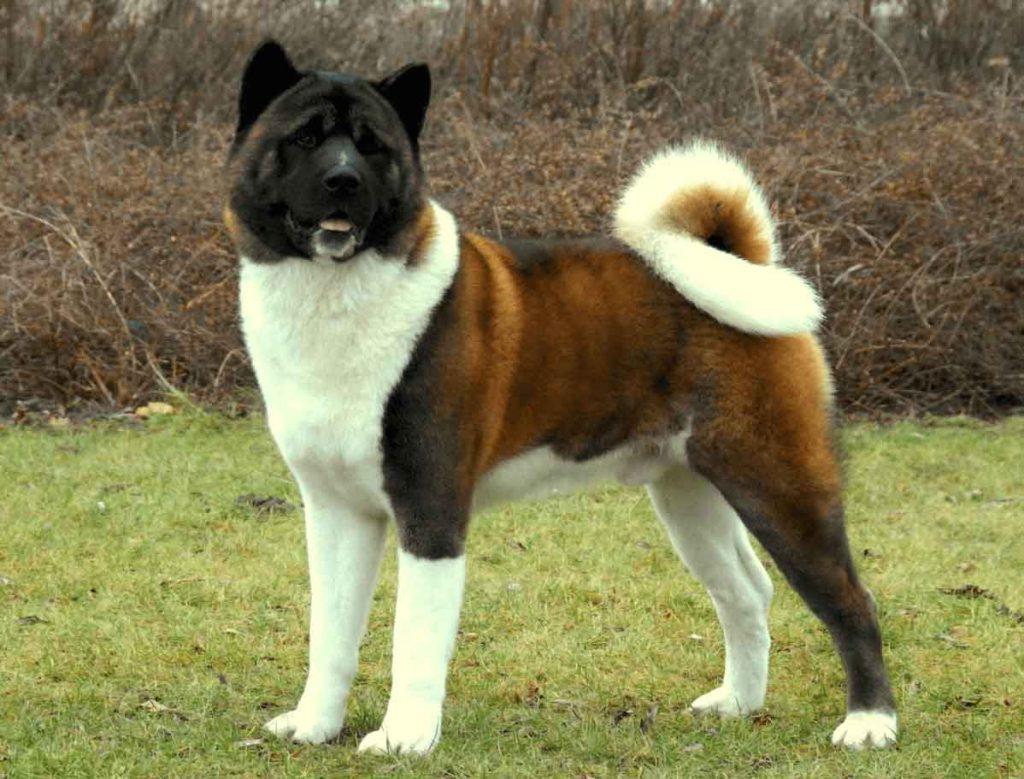 Картинки американской акиты собаки