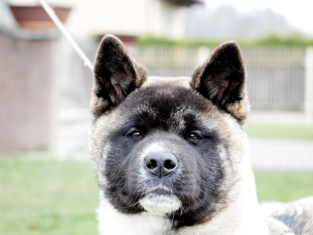 ведь фото собак американская акита примеру