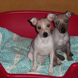 Американский голый терьер — порода собак родом из США. Описание породы с фото и видео. Рекомендации по содержанию и уходу, щенки, история, характер