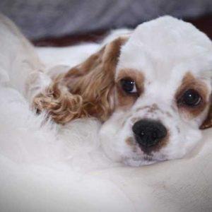 Американский кокер спаниель — описание умной и сообразительной породы собак. Фото, характер, история, содержание, отзывы, стрижка