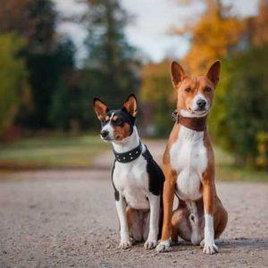 Басенджи собака — какой окрас у этой породы, все плюсы и минусы а также особенности содержания в обзоре с фото новинками!