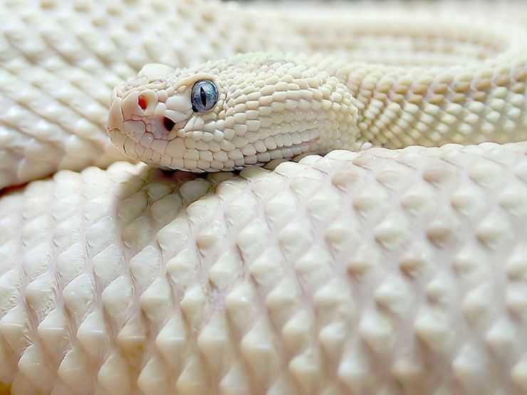 Желтая змея с белыми пятнами