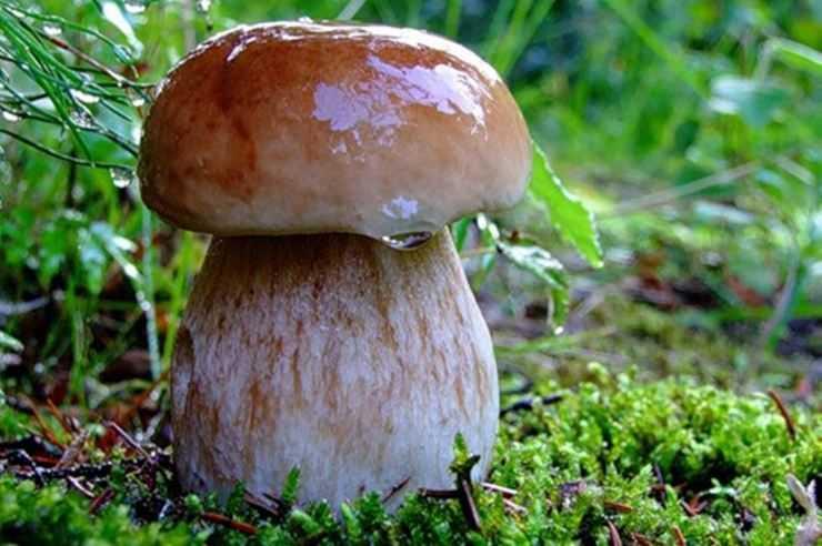 Белый гриб — описание, виды, полезные свойства и кулинарная ценность гриба из рода боровиков.