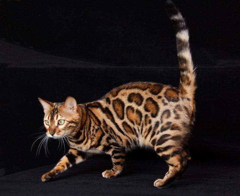 что картинки бенгальского котика самых харизматичных