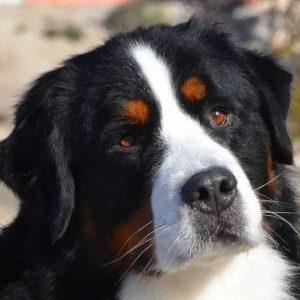 Бернский зенненхунд — все о собаке от А до Я. Характеристика породы, фото, видео, уход и содержание