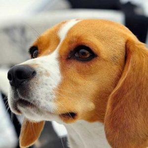Бигль: описание породы, характер, стандарт, размеры, фото собаки, отзывы, общая характеристика с отзывами и рекомендациями
