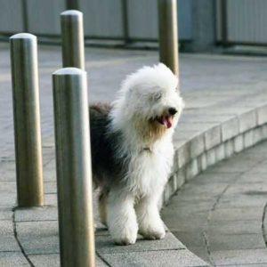 Бобтейл — необычная порода собак, с красивым окрасом. Подробное описание породы от А до Я: характер, окрас, уход за шерстью, отзывы, фото и видео
