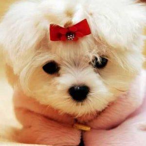 Собака Болоньез — описание породы, характер, история породы, питание, содержание и недостатки (120 фото)