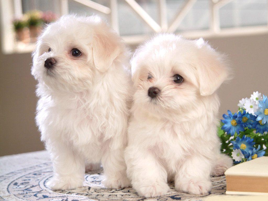 Порода комнатных собак картинки