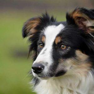 Собака породы Бордер-колли — фото, описание, характер, окрас, рекомендации по содержанию