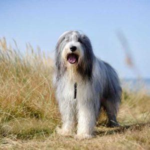 Бородатый колли: описание породы, характеристика, уход и особенности популярной собаки-компаньона. (фото + видео)