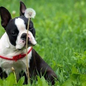 Бостон терьер: все о собаке,описание породы, характер и особенности содержания собаки-компаньона (фото + видео)