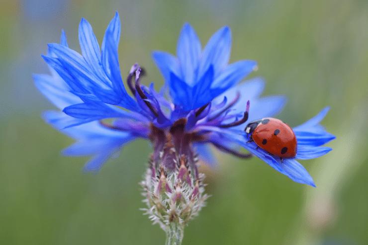 Божья коровка животное или насекомое