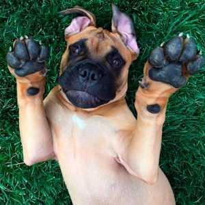 Бульмастиф: характеристика породы, правила содержания и нюансы выбора породистой собаки (110 фото)