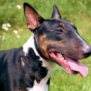 Бультерьер: обзор породы, характер современных собак и особенности ухода (видео + 105 фото)