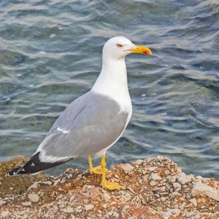 Птица Чайка — описание, особенности, виды и ареал обитания. Интересные факты + фото и видео