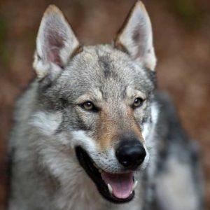 Чехословацкая волчья собака — порода собак родом из Чехословакии. Описание собаки от А до Я: фото, характер, образ жизни и особенности + отзывы