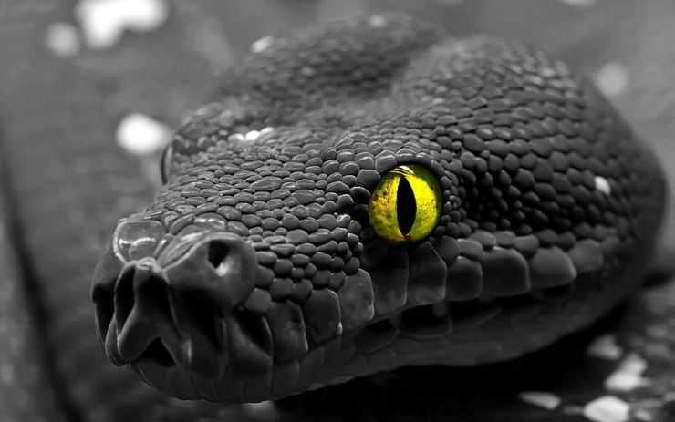 Черная змея — вид змей семейства аспидов, описание, характеристики и особенности опасной рептилии
