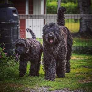 Черный терьер — описание породы, характер свойственный породе, фото собаки и особенности ее воспитания (100 фото)