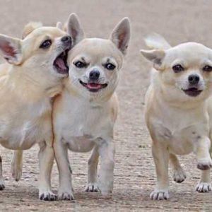 Чихуахуа — собака настоящий компаньон! Смотрите здесь все о собаке, фото, описание породы, характер цена щенков, отзывы, все плюсы и минусы породы
