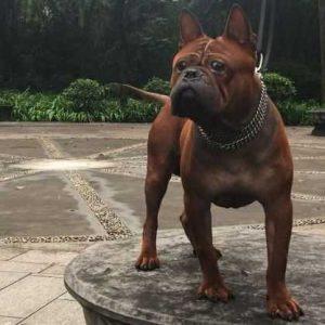 Чунцин — описание редкой китайской породы собак с фото: характер, уход и содержание, цена щенков, все о собааке от А до Я смотрите здесь!