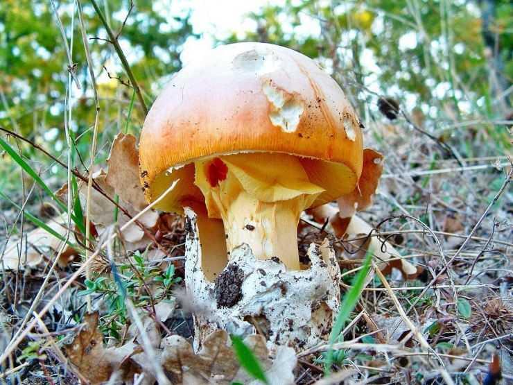 Цезарский гриб — кесарев мухомор: экология и распространение, описание, свойства и особенности (фото + видео)