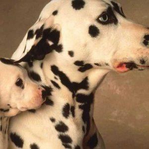 Далматин — описание ухода, особенности породы и советы по выбору чистокровного щенка (115 фото)