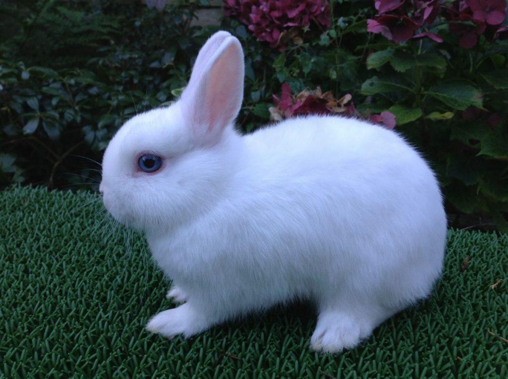 Картинка кролика декоративного
