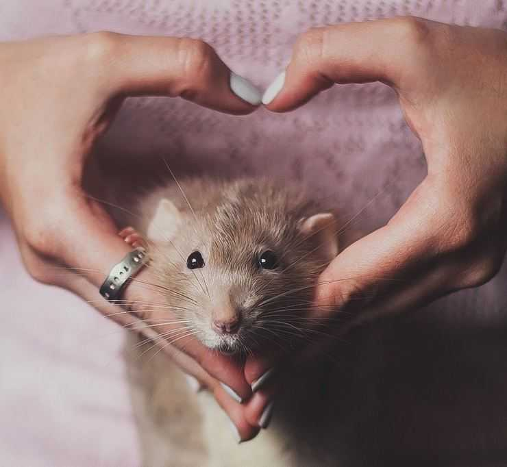 Как выглядит крыса уличная