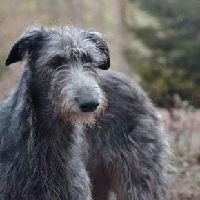 Дирхаунд — описание, характер, уход и содержание собаки. Особенности породы и советы по выбору щенка (90 фото)