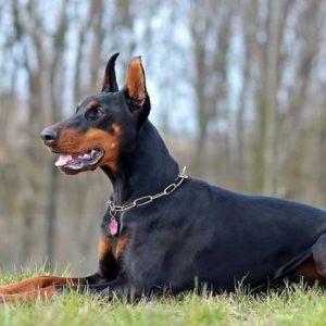 Собака породы Доберман: фото, характер, особенности дрессировки и содержания, размеры, окрасы, питание