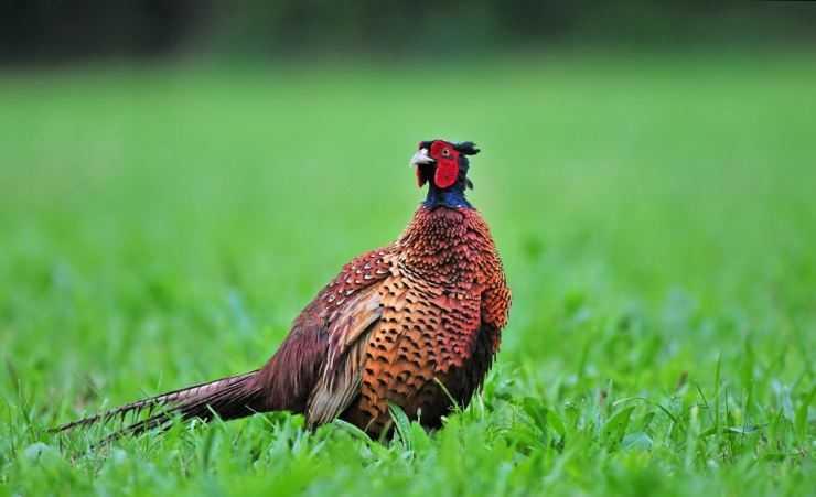 Разведение фазанов как бизнес. План фазаньей фермы по содержанию и выращиванию