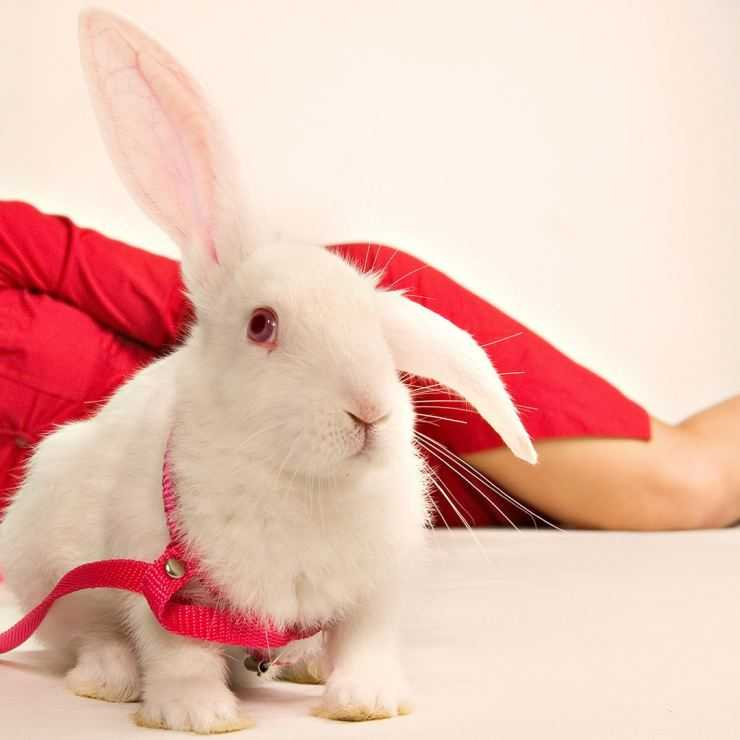 Описание внешнего вида кролика
