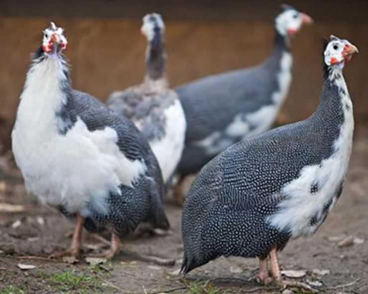 Домашняя цесарка: плюсы и минусы содержания, особенности и ценность царской птицы (фото + видео)