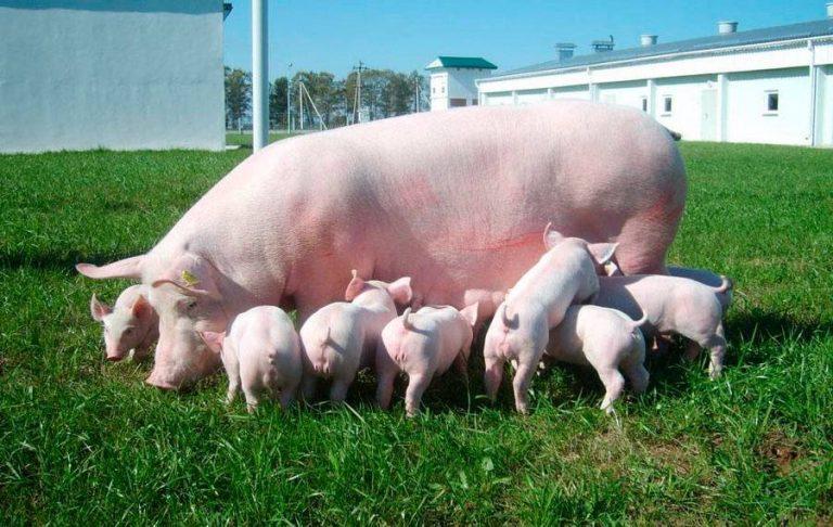 просто картинки свиней с поросятами как фото