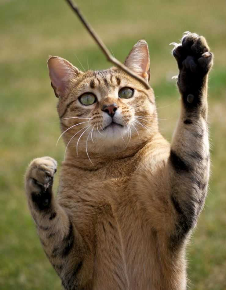 Мау порода кошек фото