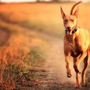 Фараонова собака — история возникновения, особенности характера и дрессировки в полном обзоре от А до Я!