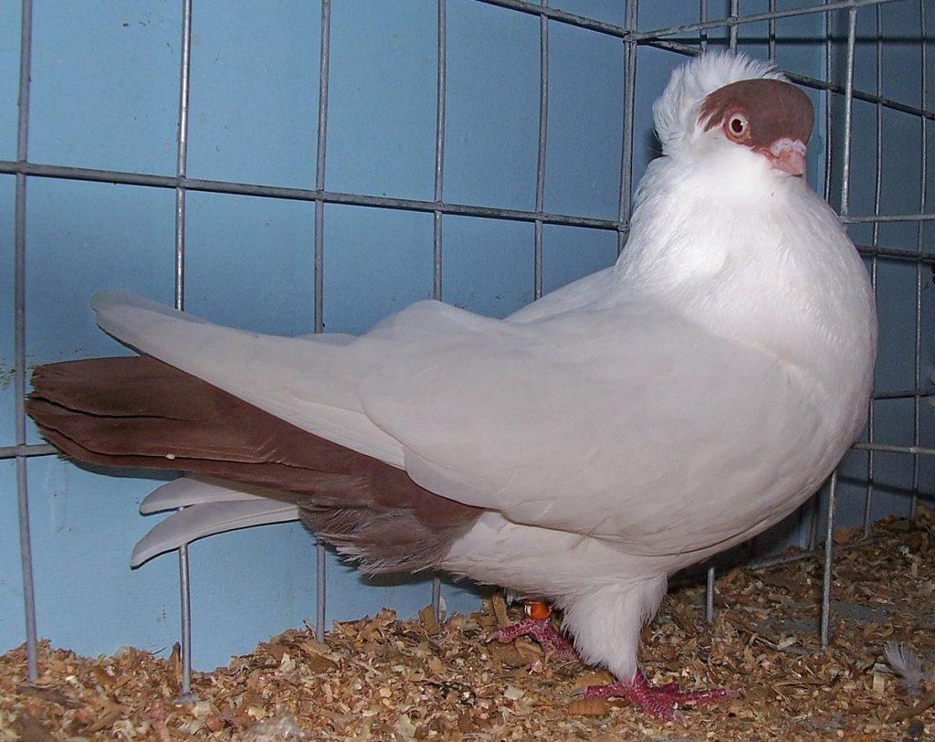 порода белых голубей фото и названия термином боке