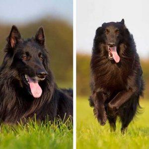 Грюнендаль — описание и характеристика красивой породы собак. Много фото, видео, интересных фактов, о собаках породы Грюнендаль