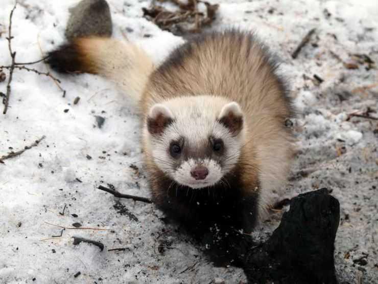 Хорек: подробное описание животного, среда обитания, что едят, фото, виды, внешний вид, интересные факты