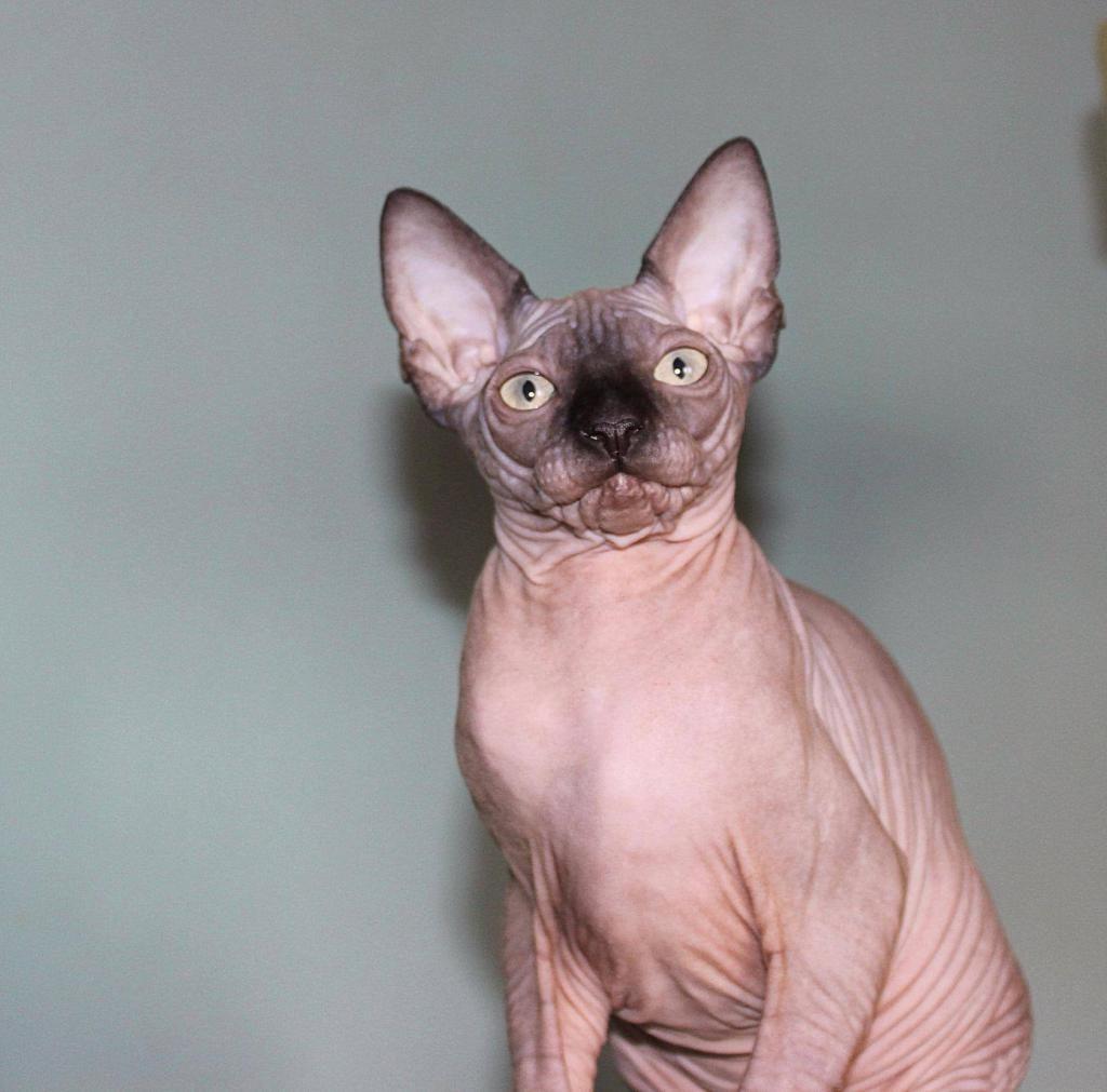 вулканическая порода, карманная кошка фото порода состоянии